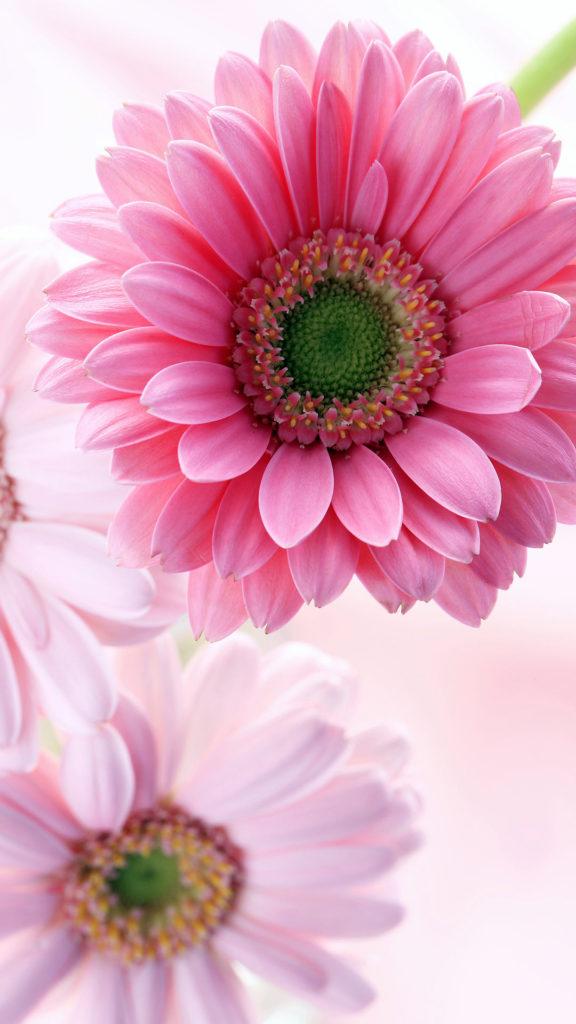 ピンクのガーベラの無料待ち受け画像 スマホ壁紙 Iphone Android 2 待ち受けparadise